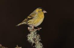 Siskin  bird. Stock Images