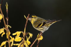 Siskin  bird. Stock Photography