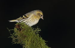 Siskin  bird. Stock Photos