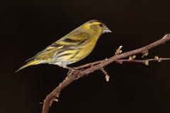 Siskin  bird. Royalty Free Stock Photos