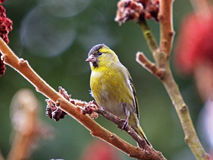Siskin. A siskin on a branch Stock Image
