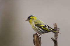 Siskin (Carduelis spinus)1 Stock Images