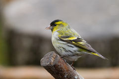 Siskin (Carduelis spinus)2 Stock Images