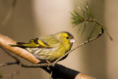 Siskin (Carduelis spinus) Royalty Free Stock Images