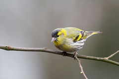 Siskin (Carduelis spinus) Stock Photos