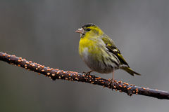 Siskin (Carduelis spinus) Stock Photography