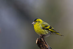 Siskin (Carduelis spinus) Royalty Free Stock Photography