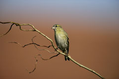 Siskin, Carduelis spinus Royalty Free Stock Photography
