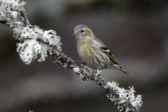 Siskin, Carduelis spinus Stock Photography
