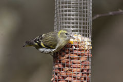 Siskin, Carduelis spinus Royalty Free Stock Photos
