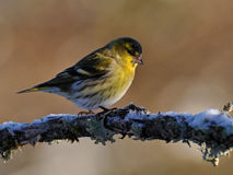 Siskin Carduelis spinus male. Sitting on a snowy branch in winter in Sweden, with the sun on face Stock Photography