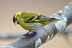 Siskin (Carduelis spinus) male on a branch. Looking down under in Uppland, Sweden Royalty Free Stock Photography