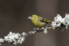 Siskin, Carduelis spinus Stock Photo