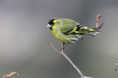 Siskin, Carduelis spinus Stock Images