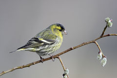 Siskin, Carduelis spinus Royalty Free Stock Photo