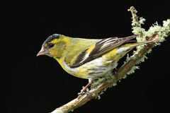 Siskin (Carduelis spinus) Royalty Free Stock Photos