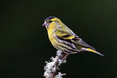 Siskin (Carduelis spinus) Stock Images