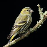 Siskin (Carduelis spinus) Stock Photo