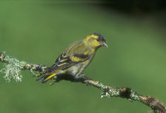 Siskin, Carduelis spinus Royalty Free Stock Images