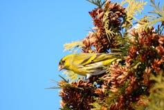 Siskin che mangia i semi coniferi Fotografia Stock Libera da Diritti