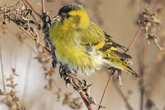 Siskin close up sitting on a branch. Abandoned field, overgrown with weeds Stock Photo