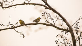 Siskin couple on leafless branch. A couple of Eurasian Siskin birds (Carduelis spinus) feeds on some female inflorescences left on a leafless Black Alder (Aldus stock image