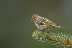 Siskin de pin Photos stock