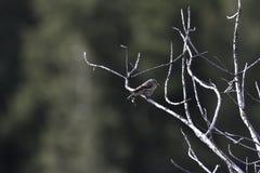 Siskin de pin image libre de droits