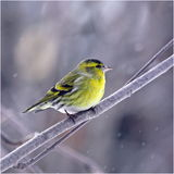 Siskin in de winter Stock Afbeelding