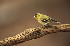 Siskin on dry branch. In the garden on spring Royalty Free Stock Photos