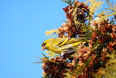 Siskin eating coniferous seeds Royalty Free Stock Photography