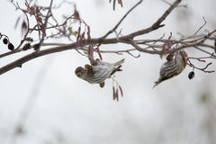 Siskin eating seeds from the cones of alder Royalty Free Stock Photos