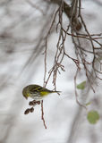 Siskin eating seeds from the cones of alder Royalty Free Stock Photo