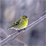 Siskin en hiver Image stock