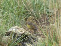 Siskin fågel i gräset royaltyfri foto
