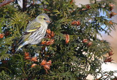 Siskin female Stock Photography