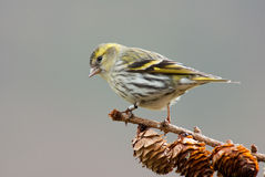 Siskin (female) Stock Photo