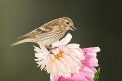 Siskin flower stand Royalty Free Stock Image