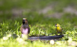 Siskin and Hawfinch Royalty Free Stock Photos
