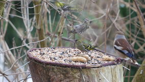Siskin and hawfinch Stock Image