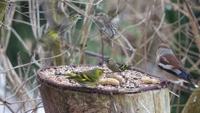 Siskin and hawfinch Royalty Free Stock Image