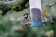Siskin and House Sparrow.. Royalty Free Stock Images