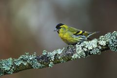 Siskin on branch with lichens. Siskin on lechens branch in the garden on spring Royalty Free Stock Images