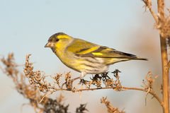 Siskin, male Stock Photography