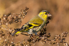 Siskin, male / Carduelis spinus Stock Images