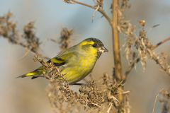 Siskin, male / Carduelis spinus Royalty Free Stock Photo