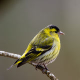 Siskin male (Carduelis spinus) Stock Images