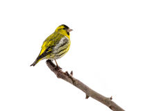 Siskin. Male siskin sitting in a tree isolated on white background Royalty Free Stock Photos