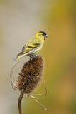Siskin (male) on teasle. A female Siskin perch on a teasle head Royalty Free Stock Images
