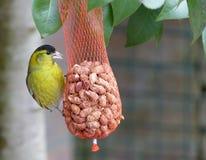 Siskin mangeant des arachides Image stock
